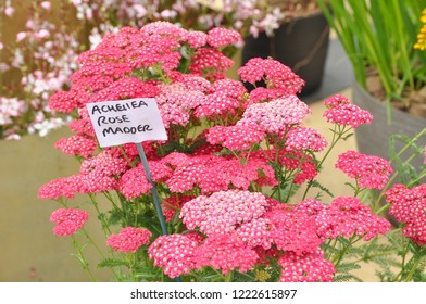 Achillea Rose Madder plant with name label.