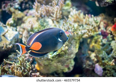 Achilles Tang fish, Achilles Surgeonfish, Red-tailed Surgeon
