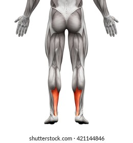 Achilles Tendon - Anatomy Muscle - isolated on white - 3D illustration