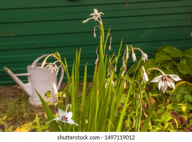 Acidanthera or Abyssinian Sword Lily after flowering in the garden on  watering can  background