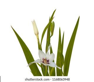 acidanthera bicolor white flower isolated on white background