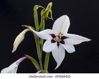 acidanthera white flower