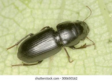 Acinopus sp. beetle in natural habitat
