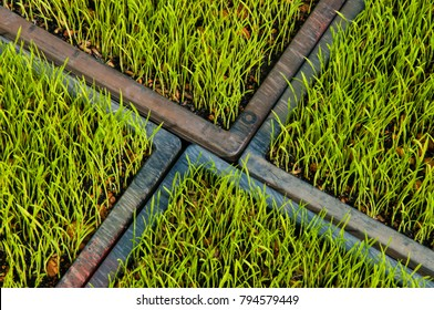 ackground of fresh green paddy field formed a beautiful pattern and design.