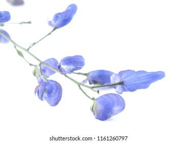 aconite flower on white background