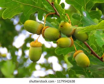 Acorn, common oak of Quercus robur,