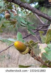Acorn or fruit of Quercus robur, common oak, carballo oak, cajiga or fresnal oak is a sturdy tree, of majestic bearing