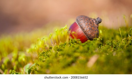 the acorn lies on the green moss of the autumn forest. juicy green moss and acorn, spring in the forest, bright natural background. acorn in an oak park, close-up, place for text