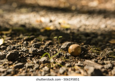 Acorn lying on the road.