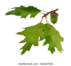 Acorn and oak leaves isolated on white background without shadows. Beauty of nature in details. Close-up.