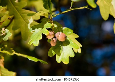Acorn and oak tree leaves