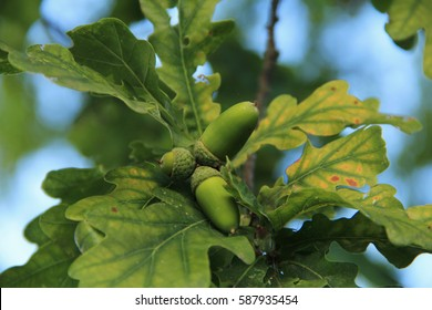 an acorn from an oak tree on the background of oak leaves, in the woods