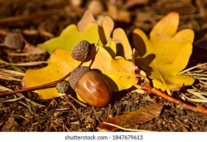 Acorn on autumn leaves view. Acorn fall. Acorn in autumn. Acorn autumn fall