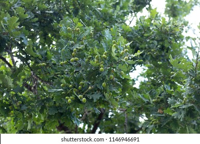 An Acorn tree