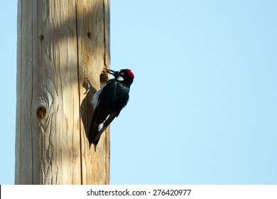 Acorn Woodpecker brings a nut to a storage hole in a utility pole