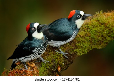 Acorn Woodpecker, Melanerpes formicivorus. Beautiful two bird sitting on the green mossy branch in habitat, Costa Rica. Birdwatching in America. Pair of Woodpecker from Costa Rica mountain forest.