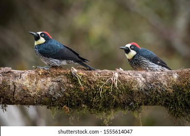 Acorn woodpecker, Melanerpes formicivorus The bird is perched on the falled tree trunk in nice wildlife natural environment of Costa Rica