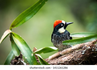 Acorn woodpecker (Melanerpes formicivorus) in the forest of San Gerardo de Dota, Costa Rica.
