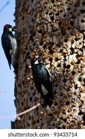 Acorn Woodpeckers on a tree in California