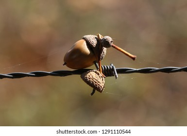 Acorns in barbed wire