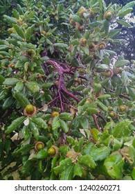 Acorns of cork oak (Quercus suber) in Toledo, Spain.