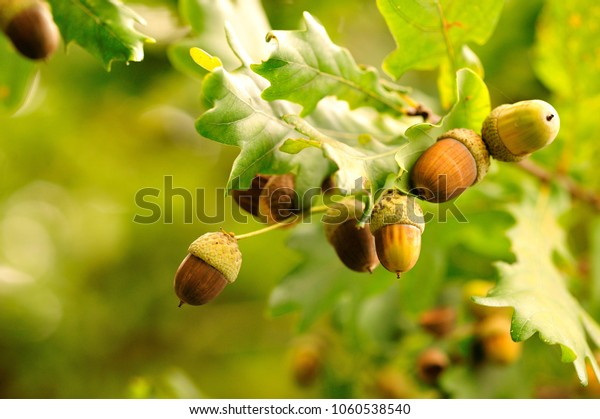 Acorns fruits. Closeup acorns fruits in the oak nut tree against blurred green background.
