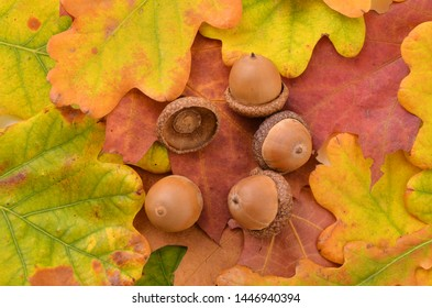Acorns fruits. Acorns  on autumn leaves, background.