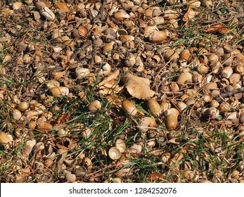 Acorns in the gras