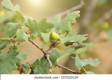 Acorns are green on a branch. Beautiful acorns close-up grow on a tree. Acorns and autumn, harvest.