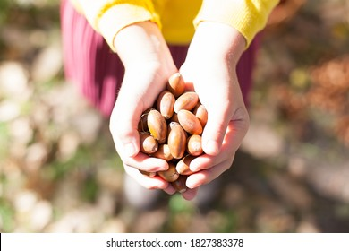 Acorns in the hands. Collect acorns. Women's hands. Walk through the autumn forest. Acorns for children's crafts.