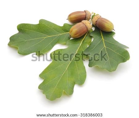 Acorns Leaves Isolated On White Background Stock Photo ...