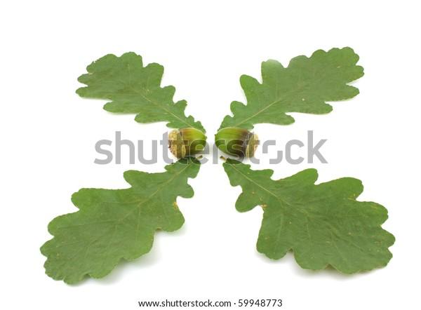 acorns-leaves-oak-over-white-600w-599487