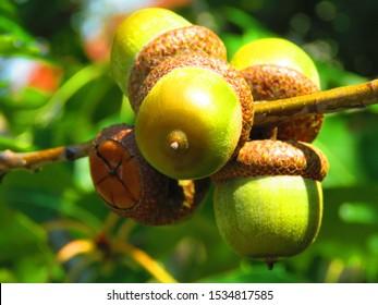 acorns of northern red oak, Quercus rubra,