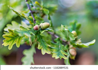 Acorns on a oak tree with green lush leaves. Sweden