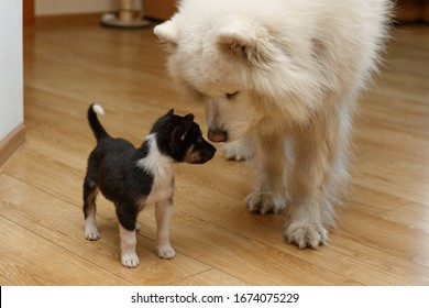Acquaintance of different dogs. One large dog is Samoyed, and the other is a small black purebred puppy. Dogs sniff each other. Big and small dog. Contrast sizes.