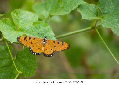 Acraea terpsicore, the tawny coster or leathery-winged butterfly in grassland. Beautiful orange butterfly resting on leaf.