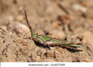 Acrida ungarica - species of grasshopper found in southern and central Europe. Known as the cone-headed grasshopper, nosed grasshopper, or Mediterranean slant-faced grasshopper.