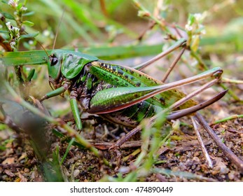 Acrididae green hides in the grass. Locust active jumping insects. Large grasshopper in the summer. Bouncing strong locust.
