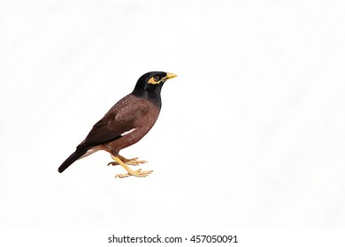Acridotheres tristis - The common myna, isolated on a white background.