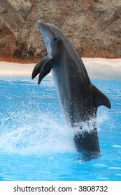 Acrobat dolphin jumping