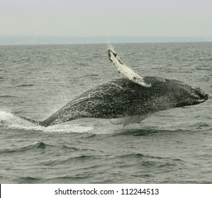An acrobatic Humpback whale breaches off the coast of California