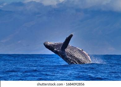 Acrobatic humpback whale breaching on Maui.