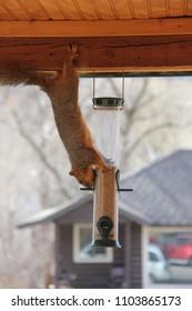 Acrobatic Squirrel Emptying Birdseed Feeder