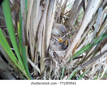 Acrocephalus agricola. The nest of the Paddyfield Warbler in nature. Russia, the Ryazan region (Ryazanskaya oblast), the Pronsky District. Nowomitschurinsk.