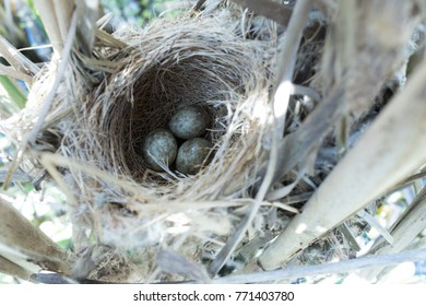 Acrocephalus agricola. The nest of the Paddyfield Warbler in nature. Russia, the Ryazan region (Ryazanskaya oblast), the Pronsky District. Nowomitschurinsk.
