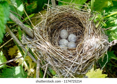 Acrocephalus dumetorum. The nest of the Blyth's Reed Warbler in nature. Russia, the Ryazan region (Ryazanskaya oblast), the Pronsky District, Denisovo.