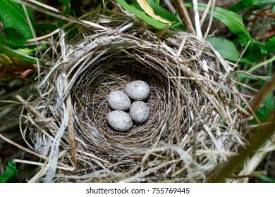 Acrocephalus dumetorum. The nest of the Blyth's Reed Warbler in nature. Russia, Moscow