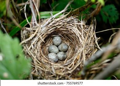 Acrocephalus dumetorum. The nest of the Blyth's Reed Warbler in nature. Russia, the Ryazan region (Ryazanskaya oblast), the Pronsky District, Denisovo.