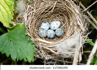 Acrocephalus palustris. The nest of the Marsh Warbler in nature.
