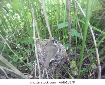 Acrocephalus palustris. The nest of the Marsh Warbler in nature. Common Cuckoo (Cuculus canorus). Russia, the Ryazan region (Ryazanskaya oblast), the Pronsky District, Denisovo.